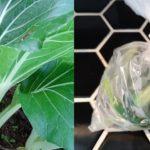 How to Freeze Bok Choy (Pak Choi) ~ Grow Create Save