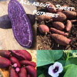 All about… Sweet Potatoes – Ted Viridian