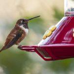 How to Make Hummingbird Food - Make your own Hummingbird Food Today