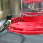 How to Make Hummingbird Food - Guide to Feeding Hummingbirds   Crabby  Housewife