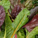Seasonal local food recipe No.239 – Swiss chard and onion tart @ Camel  Community Supported Agriculture